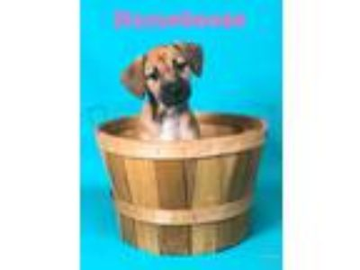 Adopt HomeGoods a Tan/Yellow/Fawn Beagle / Mixed dog in Joliet, IL (25588606)