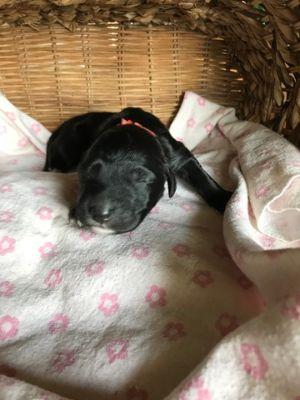 Saint Berdoodle PUPPY FOR SALE ADN-87661 - St Berdoodle Puppies