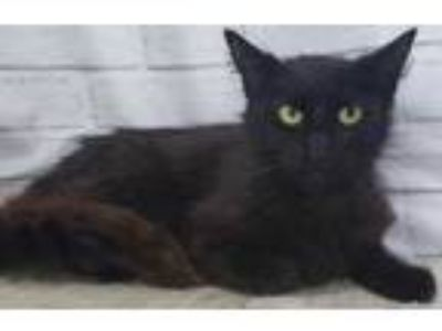 Adopt Coffee a All Black Domestic Mediumhair / Domestic Shorthair / Mixed cat in