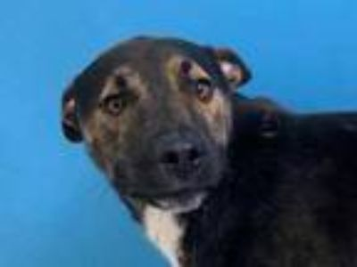 Adopt Tiger a Black Shepherd (Unknown Type) / Mixed dog in St.