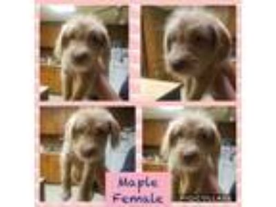Adopt Maple a Tan/Yellow/Fawn Australian Shepherd / Beagle / Mixed dog in