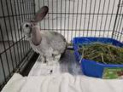 Adopt Kenzie a Grey/Silver Flemish Giant / Flemish Giant / Mixed rabbit in
