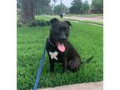 Adopt Tex a Black - with White American Staffordshire Terrier / Labrador