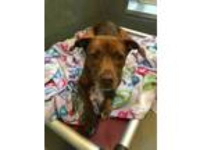 Adopt Hazel a Brown/Chocolate Labrador Retriever / Mixed dog in New Orleans