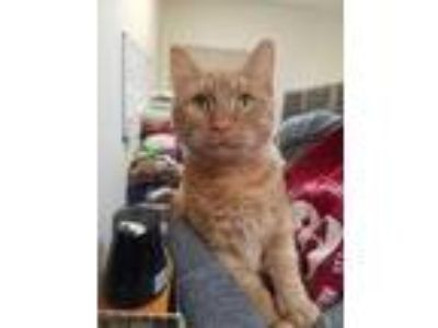 Adopt Donnie a Orange or Red Domestic Shorthair / Domestic Shorthair / Mixed cat