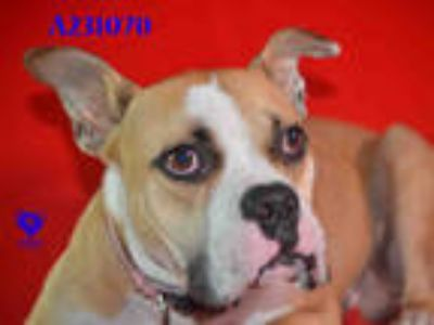Adopt DEXTER a Tricolor (Tan/Brown & Black & White) Boxer / Mixed dog in