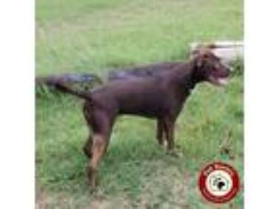 Adopt CoCo - Fee $150 a Brown/Chocolate Blue Lacy/Texas Lacy / Mixed dog in