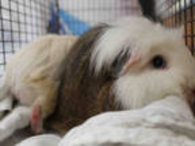 Adopt BRINDLE a Black Guinea Pig / Mixed small animal in Los Angeles