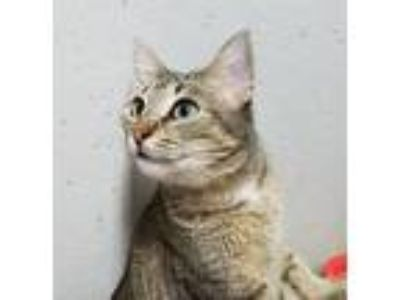 Adopt Willow Bae a Brown Tabby Domestic Shorthair (short coat) cat in Trevose