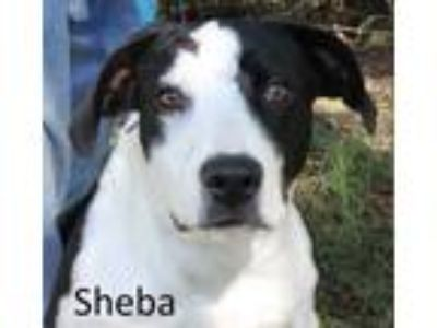 Adopt Sheba a White Hound (Unknown Type) / Mixed dog in Tahlequah, OK (23061472)