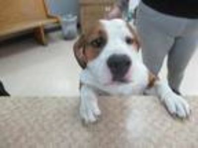 Adopt *DUMBO a Tan/Yellow/Fawn - with White Basset Hound / Mixed dog in Killeen