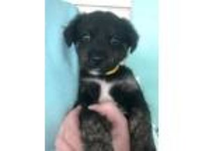 Adopt Harlowe a Black Retriever (Unknown Type) / Mixed dog in Fairfax Station