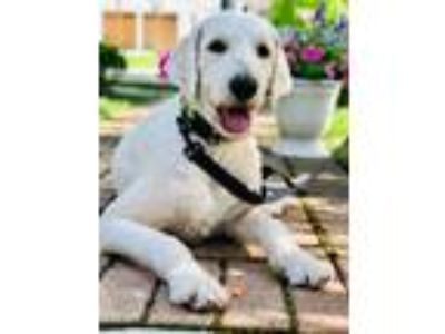 Adopt Owen-IL a Standard Poodle, Golden Retriever