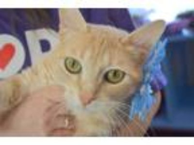 Adopt Creamsicle a Cream or Ivory (Mostly) Domestic Shorthair / Mixed cat in