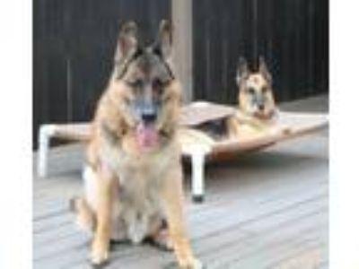 Adopt Anakin a German Shepherd Dog