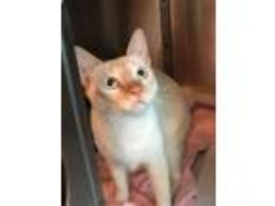 Adopt Doc and Jack a Siamese, Domestic Short Hair