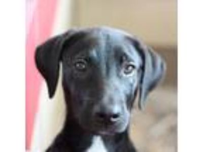 Adopt Mario a Black Labrador Retriever / Black Mouth Cur / Mixed dog in