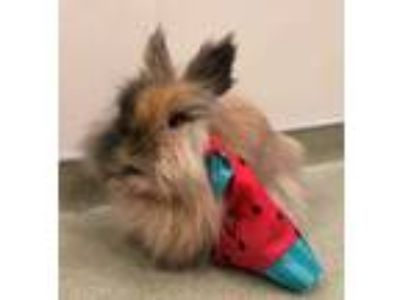 Adopt Elizabeth a Orange Lionhead / Mixed rabbit in Chicago, IL (25309415)