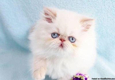 Gccf Registered Colourpoint Persian Kittens