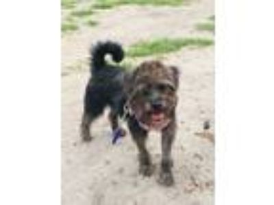 Adopt Lily a Schnauzer, Yorkshire Terrier