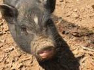 Adopt Dill a Pig (Potbellied) farm-type animal in Asheville, NC (17912697)