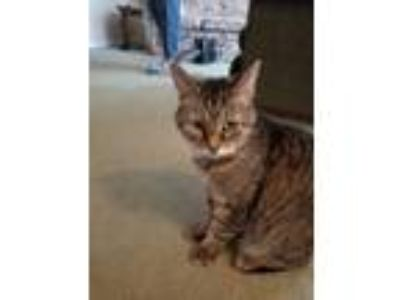 Adopt Pepper a Brown Tabby Domestic Shorthair cat in Telford, PA (25282930)