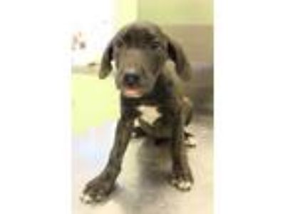 Adopt Boa a Pit Bull Terrier, Mixed Breed