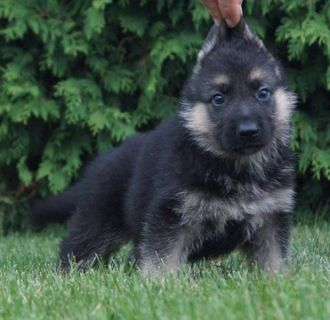 German Shepherd Dog PUPPY FOR SALE ADN-89380 - Amazing AKC German  Shepherd Puppies