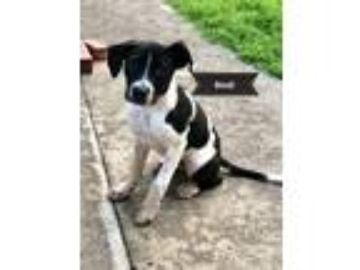 Adopt Bindi a White - with Black Pointer / Mixed Breed (Medium) / Mixed dog in