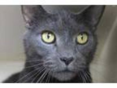Adopt Unicorn a Gray or Blue Domestic Shorthair / Domestic Shorthair / Mixed cat