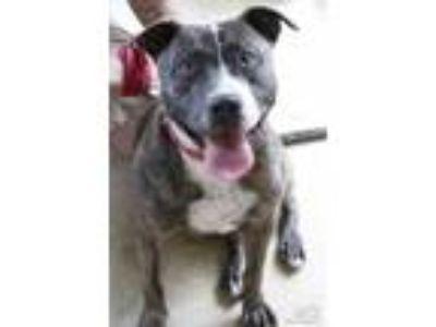 Adopt Allison a American Staffordshire Terrier