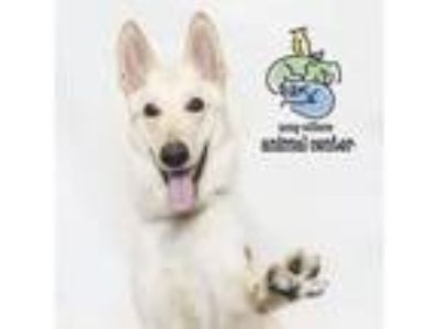 Adopt Killian a White - with Tan, Yellow or Fawn Shepherd (Unknown Type) dog in