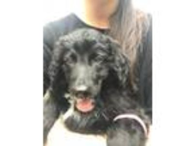 Adopt Lennox a Black - with White Border Collie / Poodle (Standard) / Mixed dog