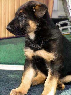 AKC German Shepherd puppies - 9 weeks old