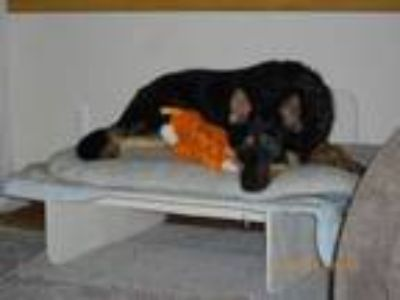 Adopt Zelda a German Shepherd Dog, Cattle Dog