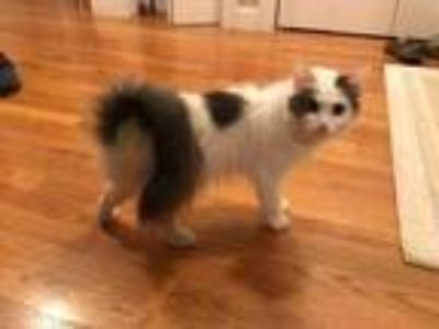 Adopt Tahiri a White Domestic Mediumhair / Siamese / Mixed (medium coat) cat in