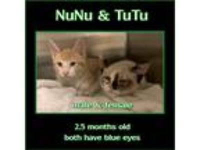 Adopt NuNu a Orange or Red (Mostly) Domestic Shorthair (short coat) cat in