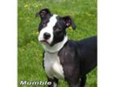 Adopt Mumble a Black - with White American Staffordshire Terrier / Mixed dog in