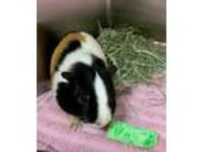 Adopt Stromboli a White Guinea Pig / Mixed small animal in Worcester
