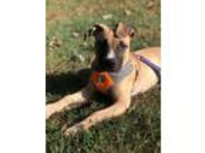 Adopt Karl a Pit Bull Terrier