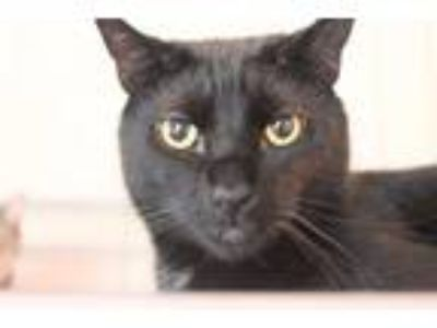 Adopt Panzarotti a All Black Domestic Shorthair / Mixed cat in Mount Laurel