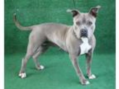 Adopt *DEANA a Gray/Silver/Salt & Pepper - with White American Pit Bull Terrier