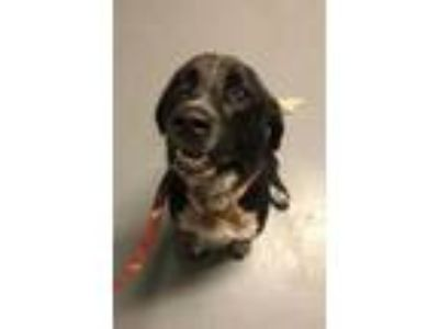 Adopt Tow Mater a Black Basset Hound / Australian Cattle Dog / Mixed dog in