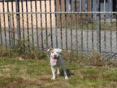 Adopt RUSSIA a White - with Tan, Yellow or Fawn American Pit Bull Terrier /