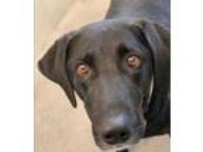 Adopt Sugar Toes a Black Labrador Retriever / Mixed dog in Pullman