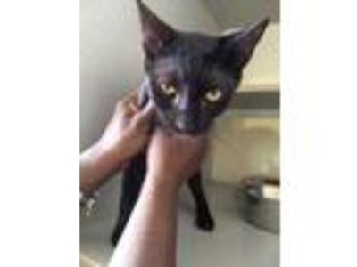 Adopt TERTIUS a All Black Domestic Shorthair / Domestic Shorthair / Mixed cat in