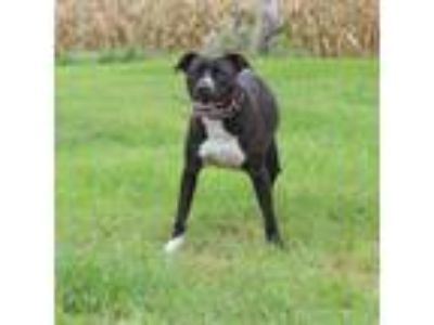 Adopt Stephie a Pit Bull Terrier