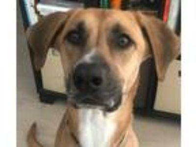 Adopt *Arya a Tan/Yellow/Fawn Shepherd (Unknown Type) / Labrador Retriever /