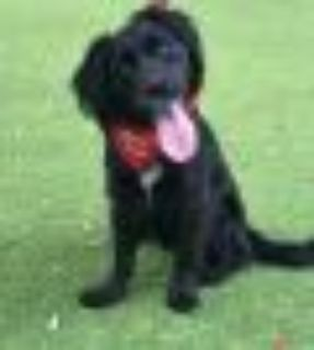 Tux Cocker Spaniel - Spaniel Dog