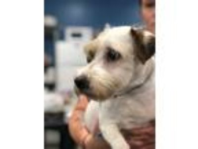 Adopt Luke a Parson Russell Terrier / Mixed dog in Madison, NJ (25892795)
